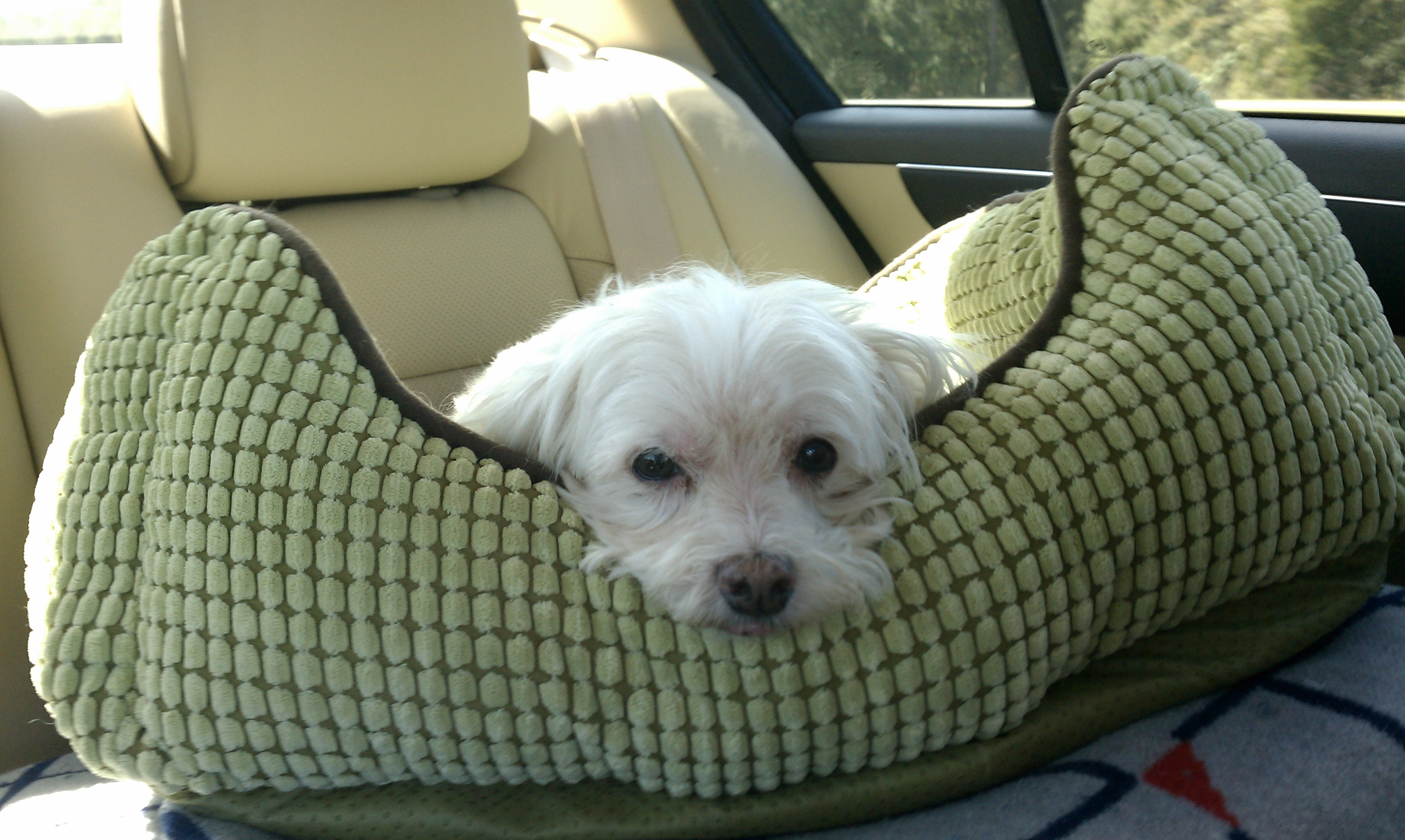 Are we there yet?  Bennie in his bed traveling.