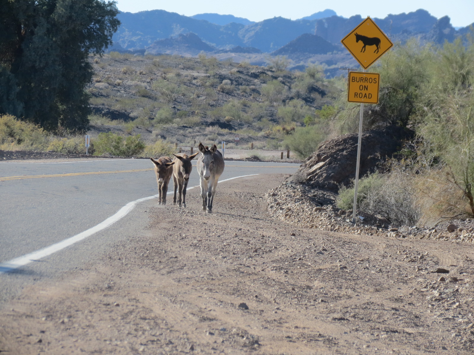 Wild Burros taking a stroll down the roadside in Parker AZ