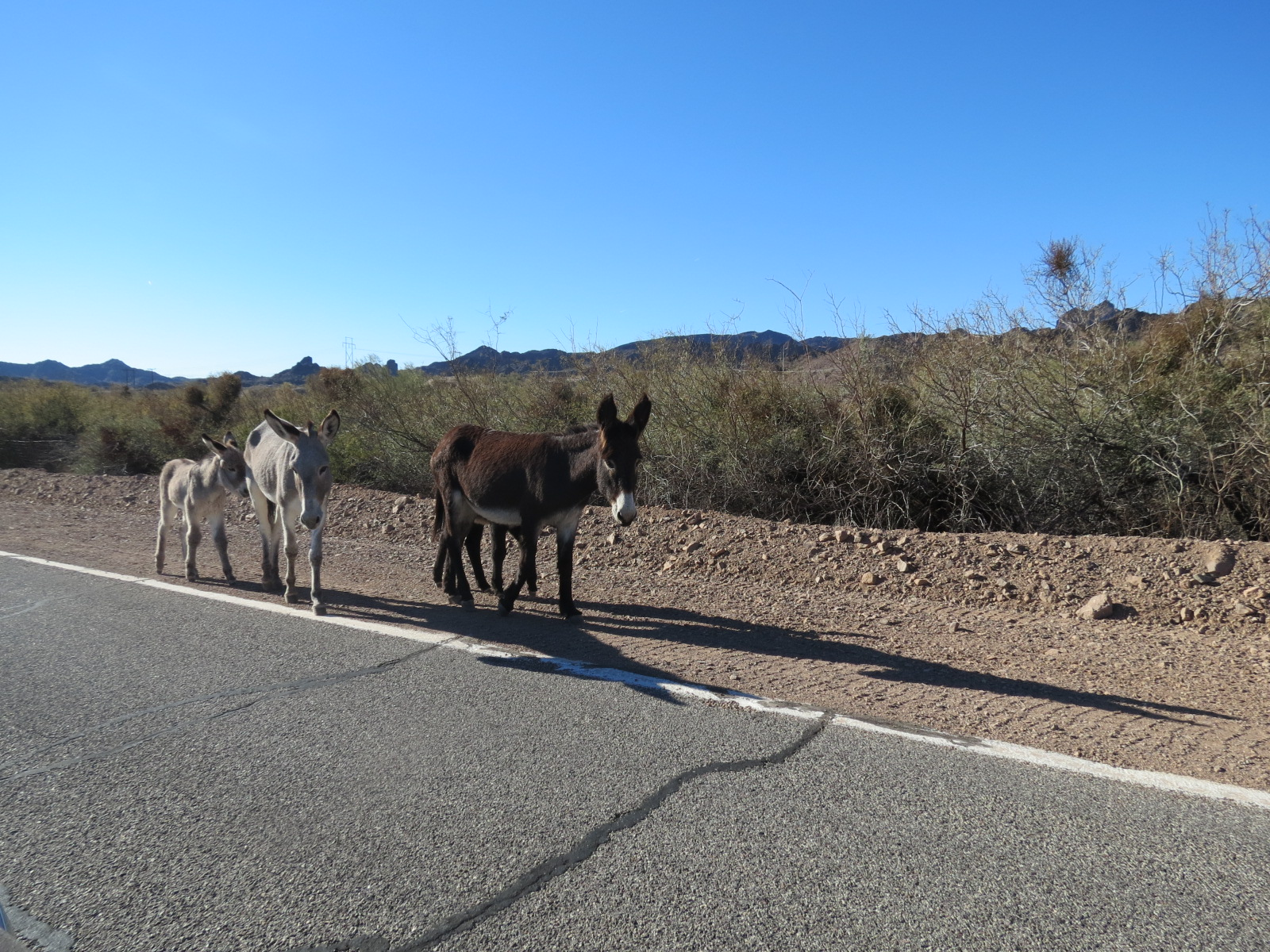 Burros Mama's with their babies