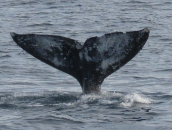 Gray whale.  Wow!  what a great day!