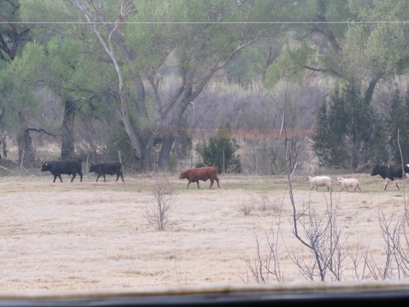 Summer cows......Some'r black, some'r brown, some'r sheep......  ( Just a little train humor)