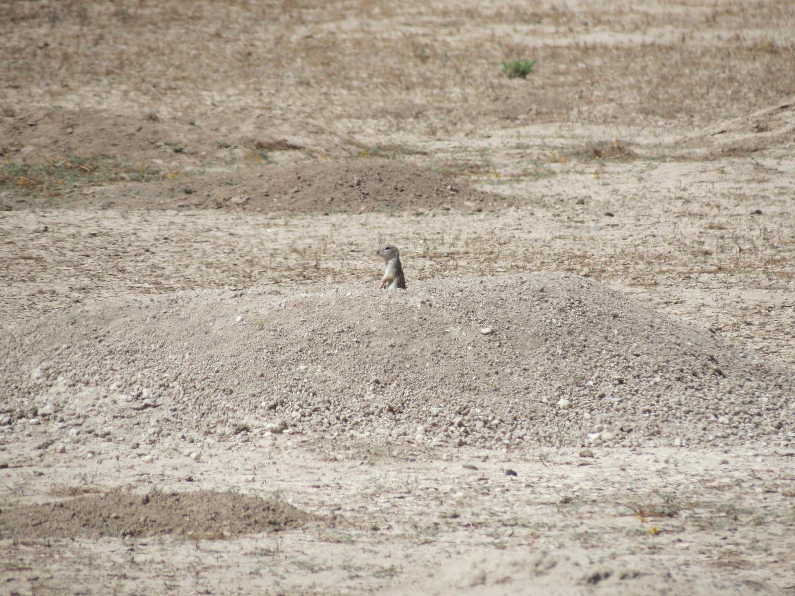 Meerkat in the wild!