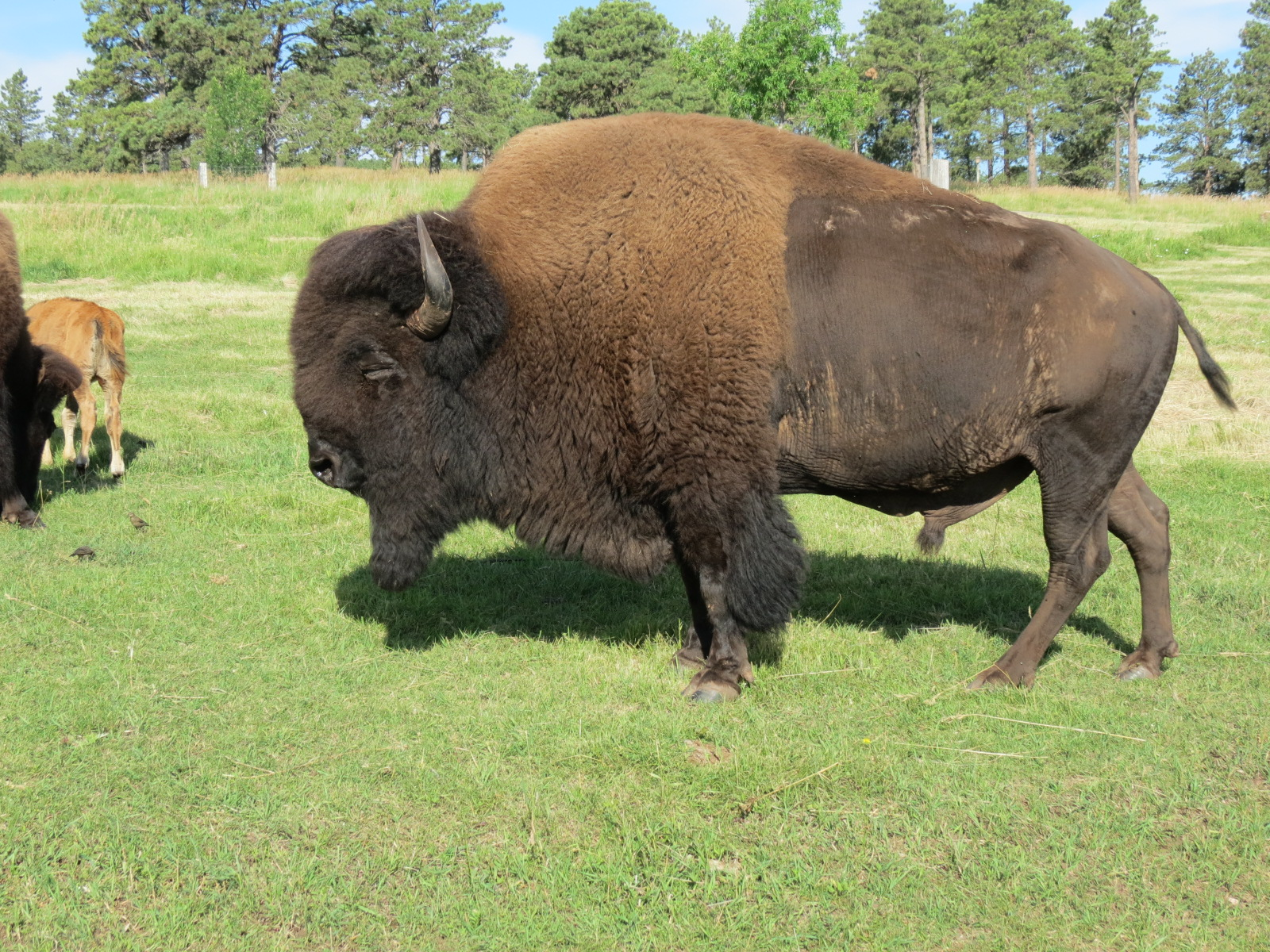 Buffalo inside Bear Country USA