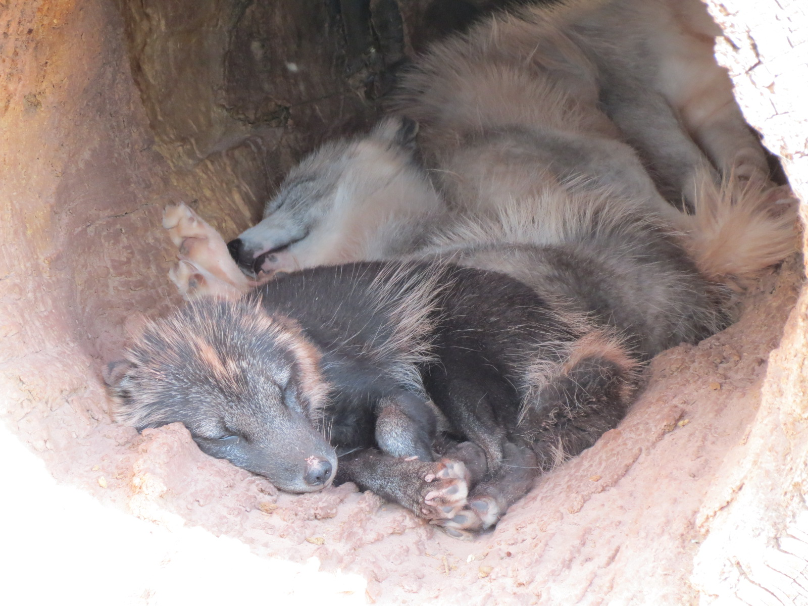 Napping Arctic Wolves