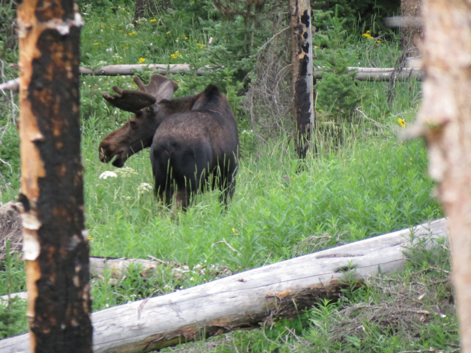 Moose on the loose in Yellowstone Park