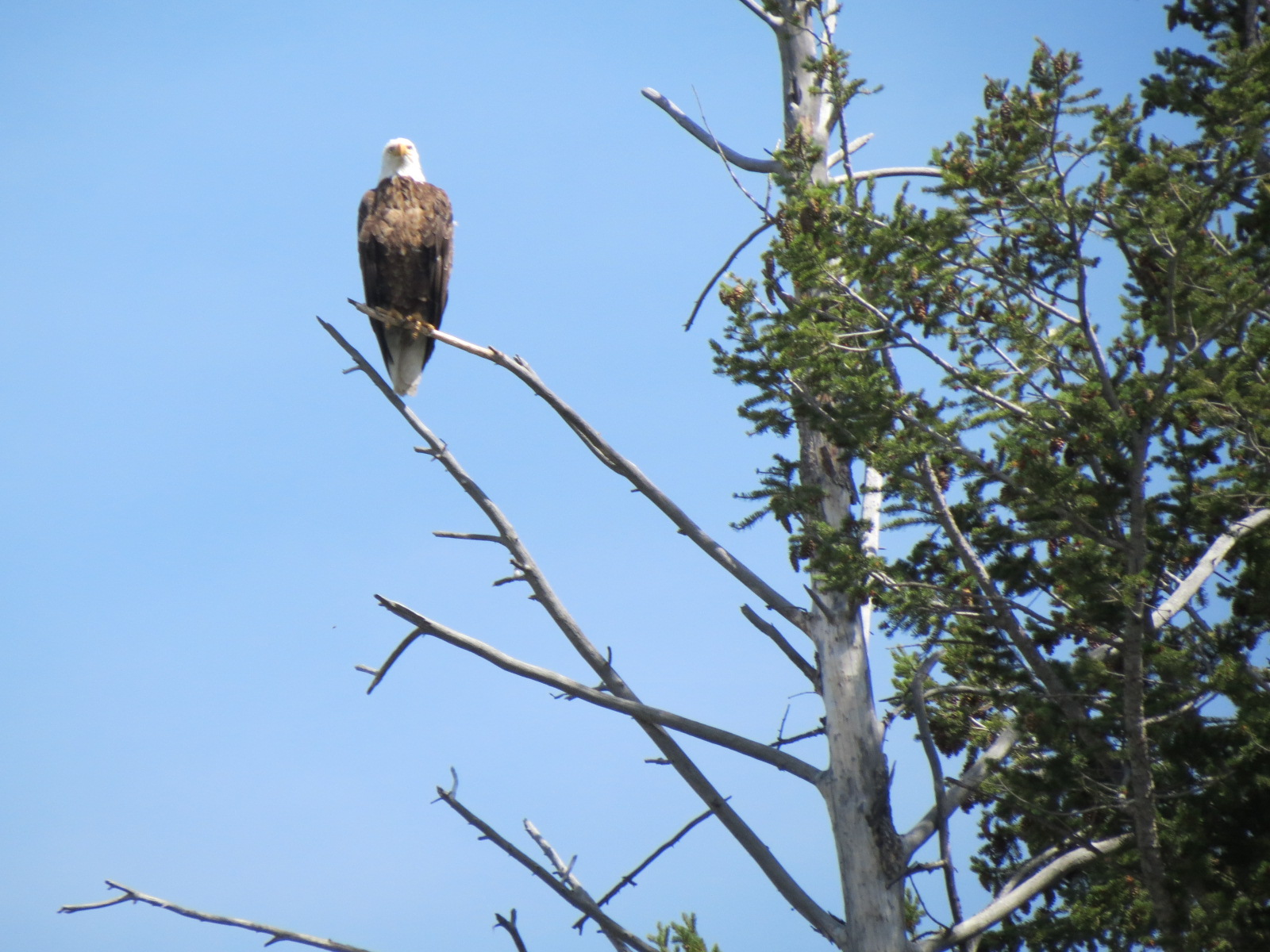 One of many Bald Eagles seen on our float trip