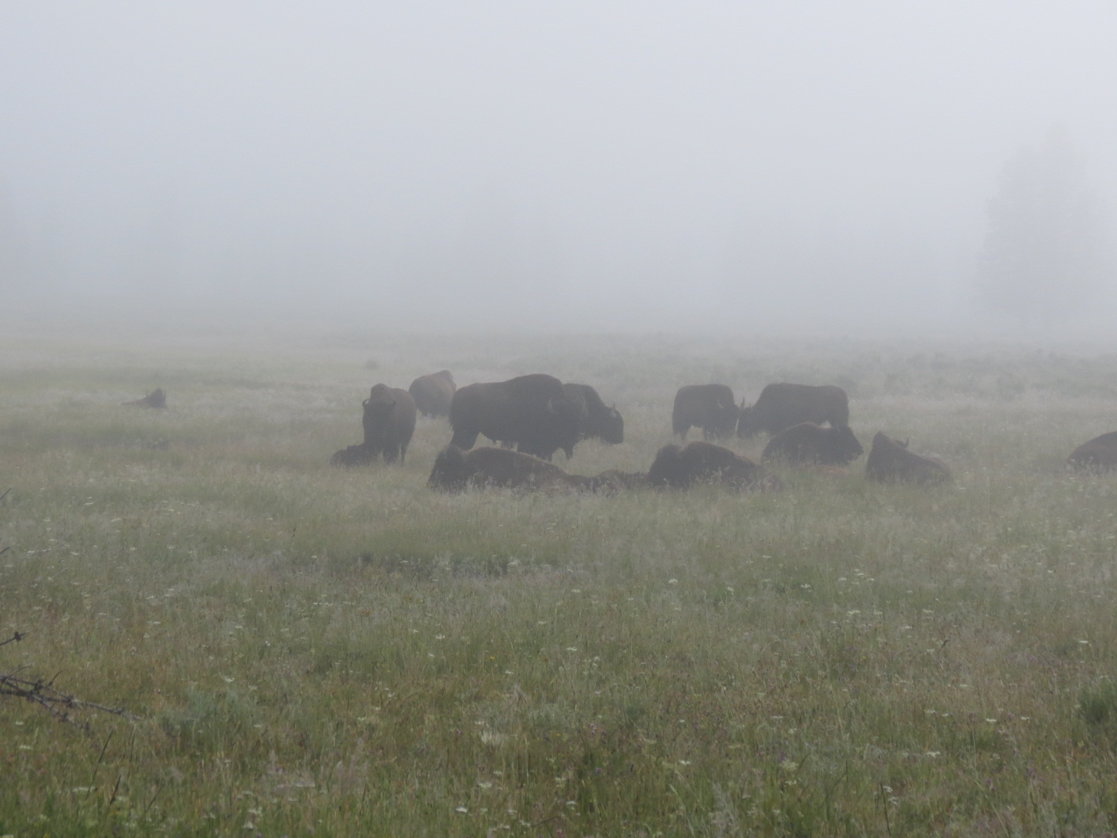 Buffalo herd in the morning fog