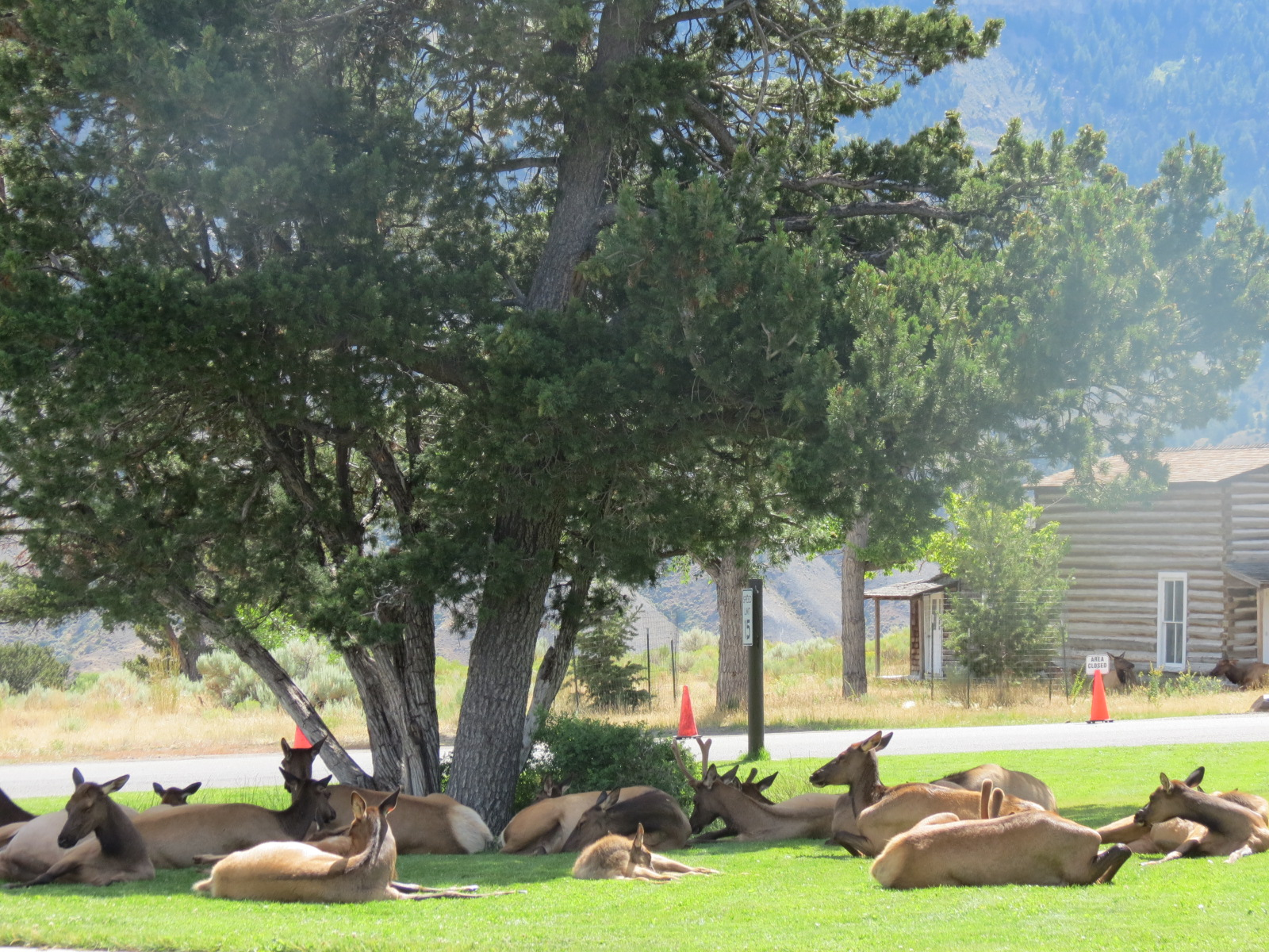 Elk napping in Mammoth Hot Springs  town center